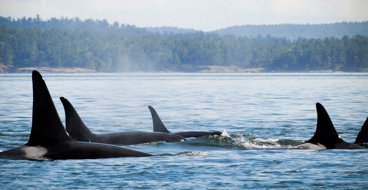 orca awareness month raising awareness celebrating the orcas of